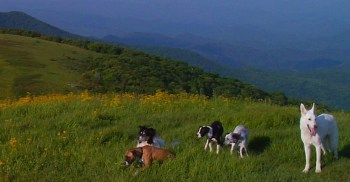 All five dogs on the mountain