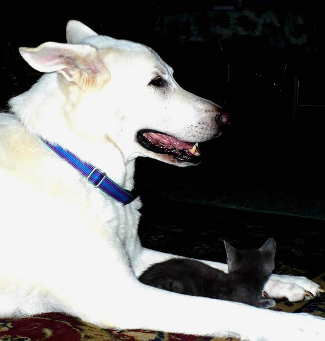 Aslan (Oz) protecting kitten
