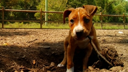Boxer puppy Junior, digging up a root