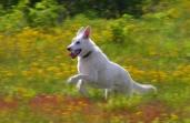 Tucker in yellow flowers in Spirit Dog