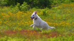 Tucker, running in yellow flowers